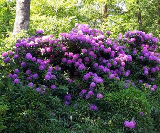 Tiergarten Rhododendrons