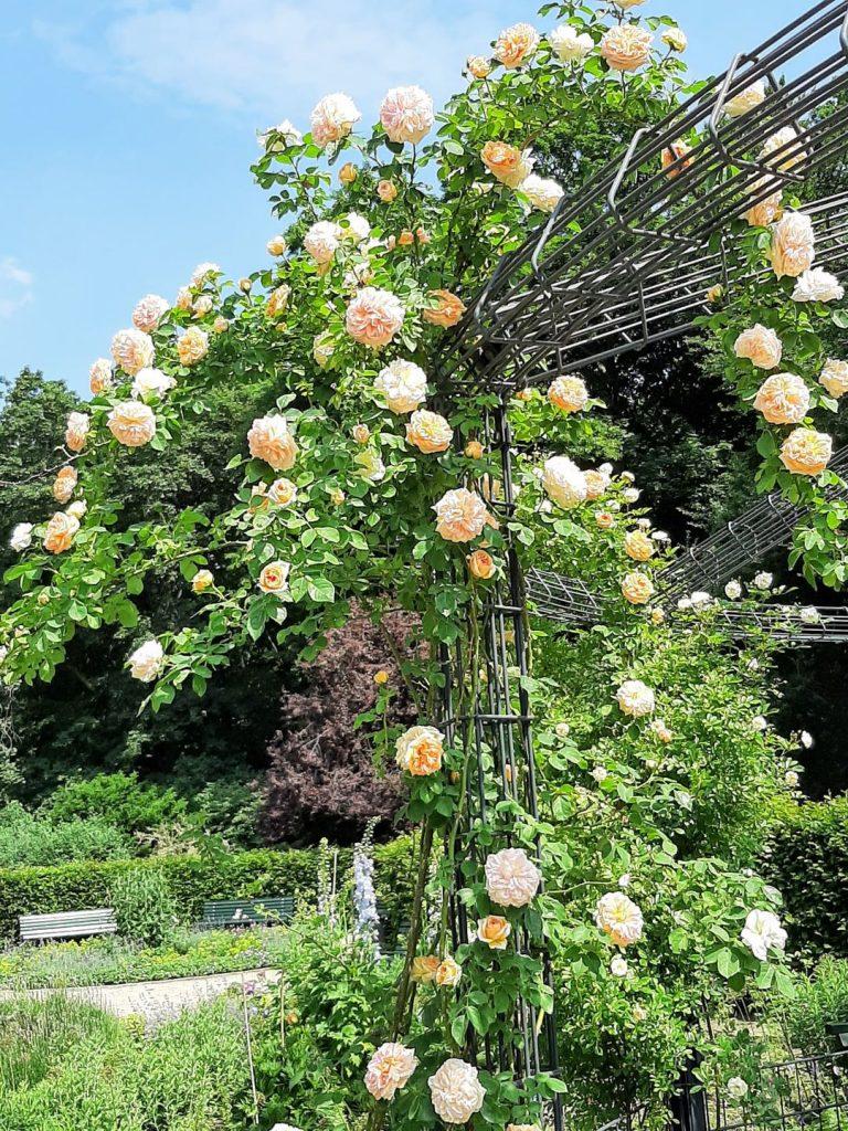 Tiergarten Roses